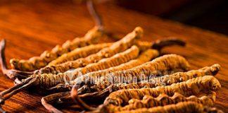 Tác dụng đông trùng hạ thảo tươi